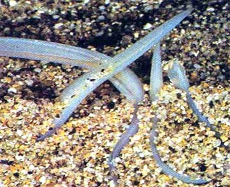 Cephalochordata-Amphioxus