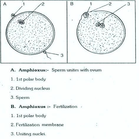 amphioxus - gametes