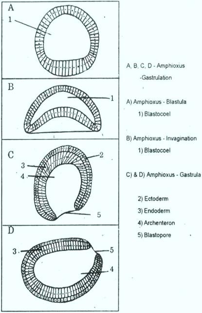 amphioxus - gatrula