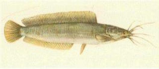 clarias-macrocephalus