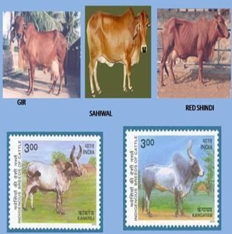 cattle-breeds