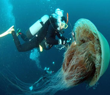 largest-jelly-fish