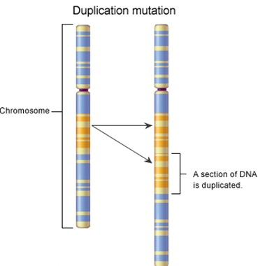duplication-chromosome-mutation