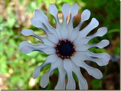 white daisy a