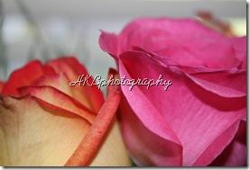 2 roses close up