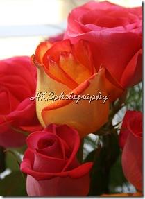 rose 5x7