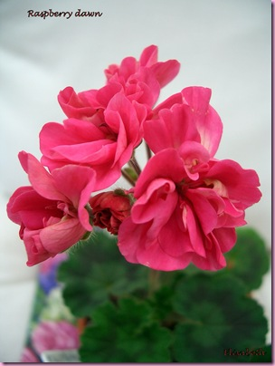 Pelargoner 09 002-2