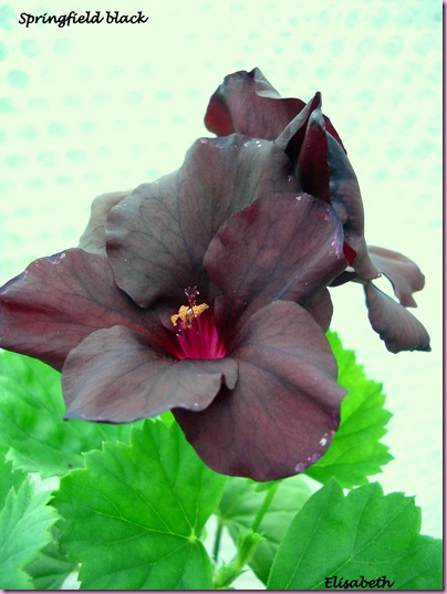 Pelargoner 09 027