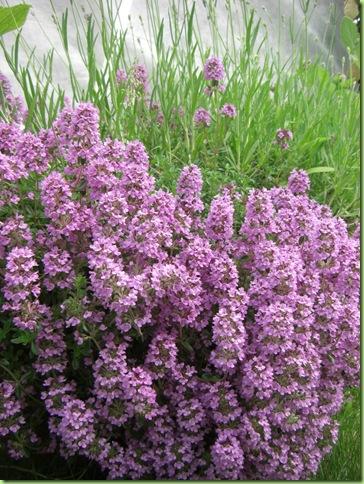 Blomster i haven juli 09 044