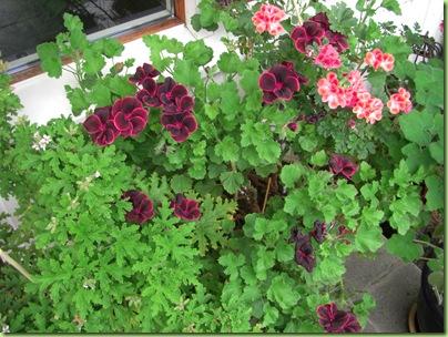 Blomster i haven juli 09 031
