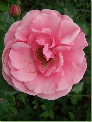 Blomster i haven juli 09 032