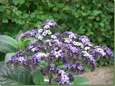 Blomster i haven juli 09 034