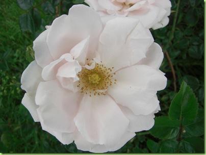 Blomster i haven juli 09 036