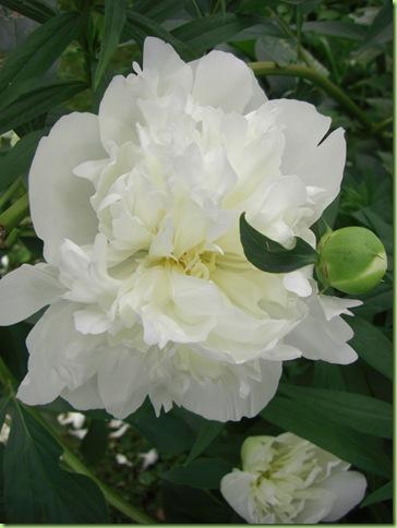 Blomster i haven juli 09 040