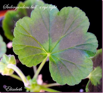 Pelargonium  juli -10 012