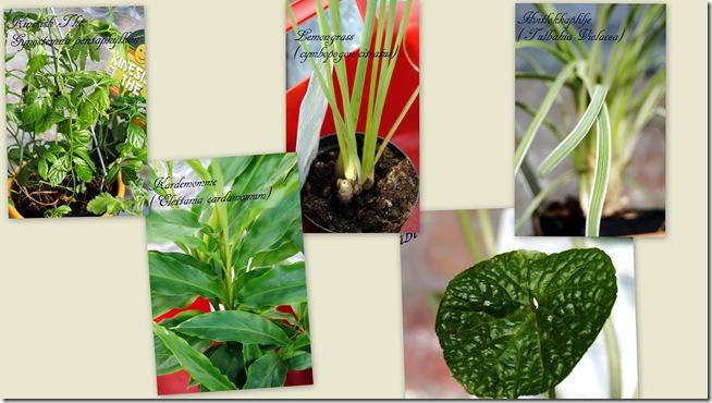 2011-04-11 Pelargonium april -111