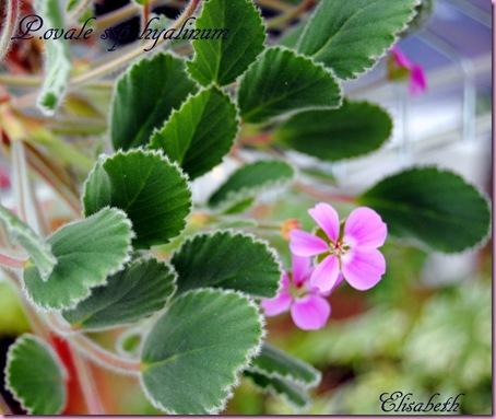 Pelargonium april -11 028