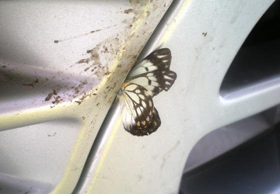 butterfly v falcon