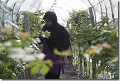 Ladang Anggur Kak CT 13.11.2010 014