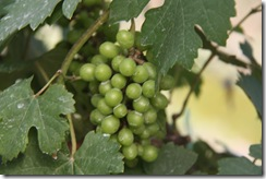 Ladang Anggur Kak CT 13.11.2010 009