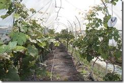 Ladang Anggur Kak CT 13.11.2010 013