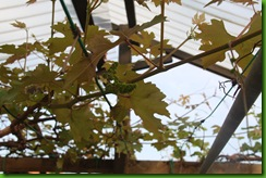 Bunga Anggur IAC 005