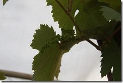 Anggur kak CT 3.2.2011 003