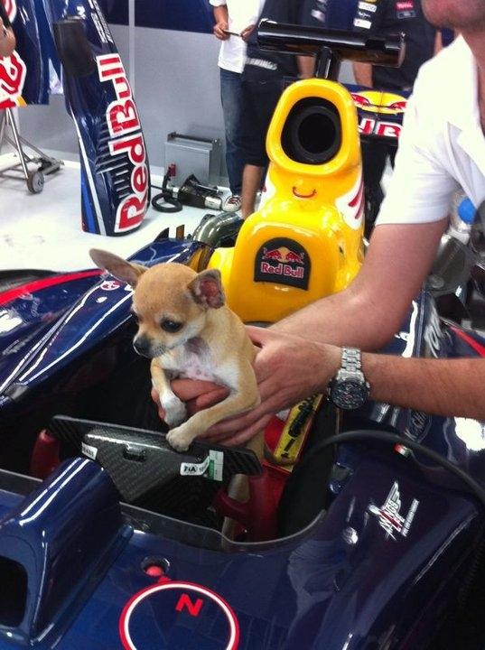 Новый пилот Red Bull Bark Webber собачка