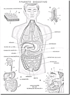 digestive coloring pages in spanish