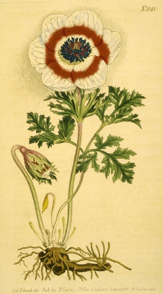Curtis's Botanical Magazine
