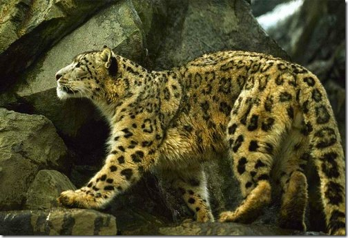 rare_snow_leopard