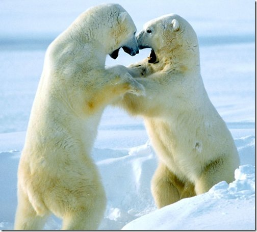sparring_polar_bears