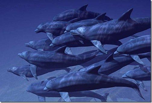 bottlenose dolphin wallpaper. Bottlenose Dolphins