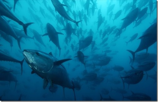 caged_bluefin_tuna_wallpaper