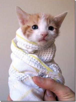 gatos disfrazados (26)