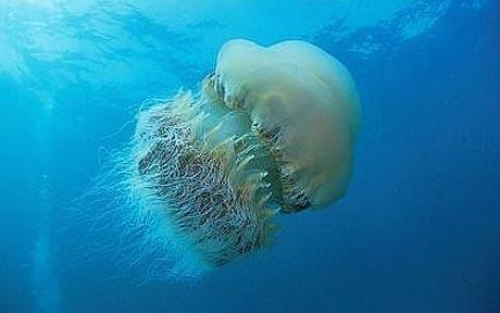 Nomura_s-jellyfish_1514656c