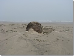 5080 Hay Bale on Beach South Padre Island Texas
