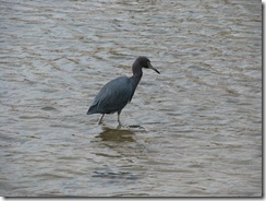 5549 Reddish Egret South Padre Island Texas