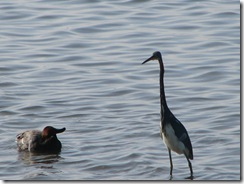 5672 Red Head Duck Tri Colored Heron South Padre Island Texas