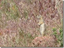 1302 Prairie Dogs at Ames Monument WY
