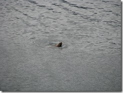 4809 Seal in Harbour Sitka AK