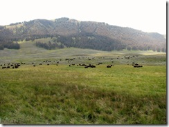 5896 Herd of Bison Yellowstone National Park