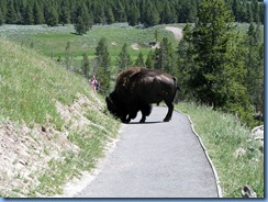 9221 Bison on Pathway Mud Volcano Area YNP WY