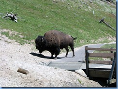 9223 Bison on Pathway Mud Volcano Area YNP WY