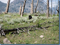 9300  Black Bear at Petrified Tree YNP WY