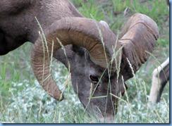 9917 Big Horn Sheep at  Jasper National Park AB