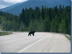 10035 Black Bear Jasper National Park AB