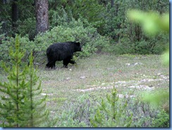 10200 Black Bear Banff National Park AB