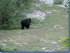 10201 Black Bear Banff National Park AB