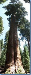 2499 Sherman Tree Sequoia National Park CA Stitch